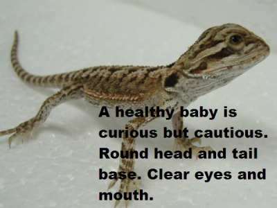 http://nsreptiles.com/images/healthybaby1.JPG